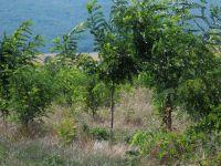 Robinien-Pflanzung