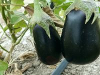 Auberginen-Anbau